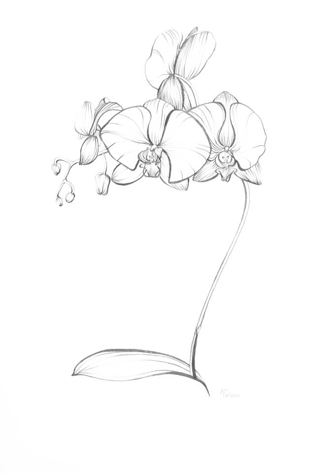 Orchid Flower Line Drawing : Orchid line drawings