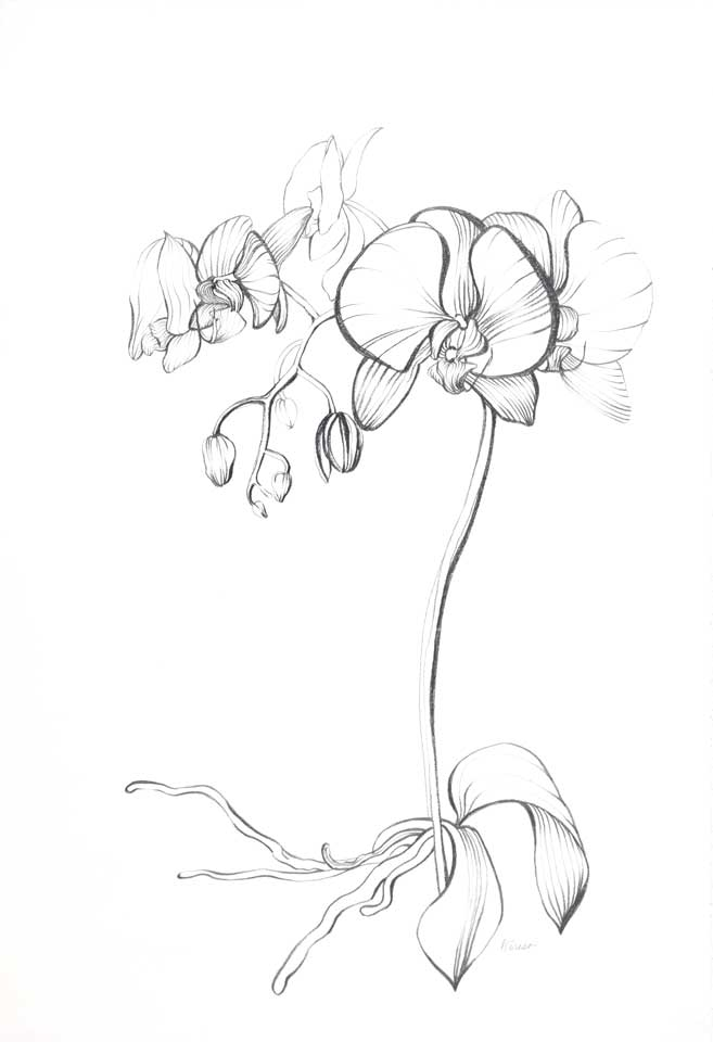 Orchid Drawings In Pencil Orchid roots. medium: pencil